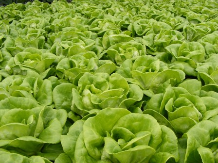 GreenhouseBibblettuce